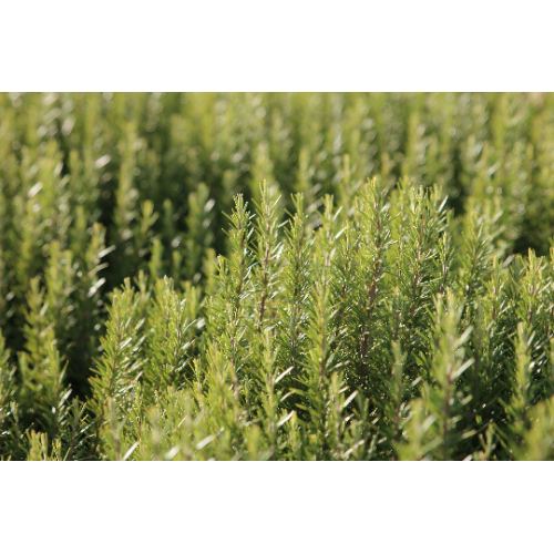 Rosemary essential oil | Rosmarinus Officinalis leaf oil