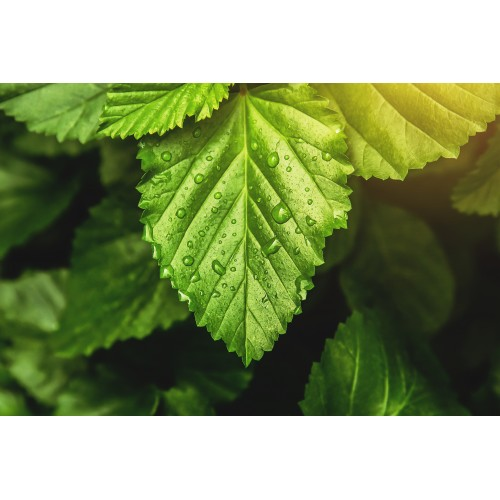 Patchouli essential oil |Pogostemon Gablin oil